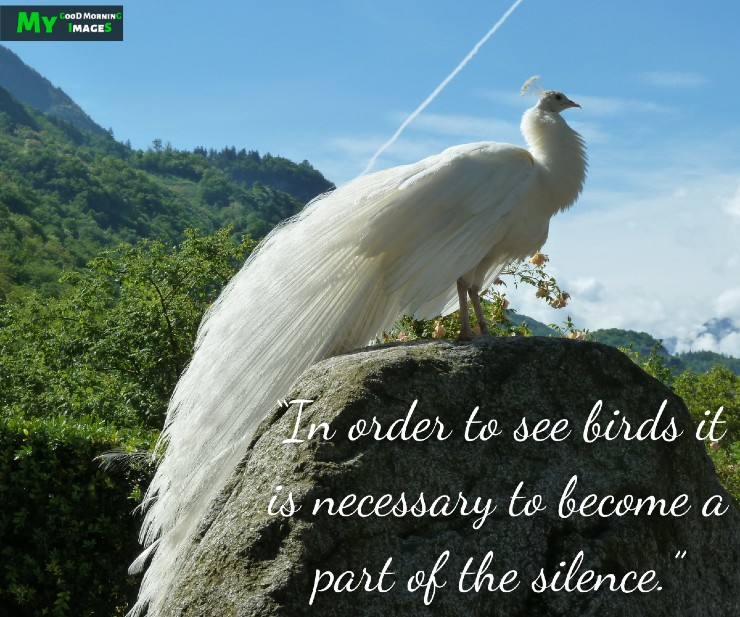 Good Morning Peacock Images WIth Quotes